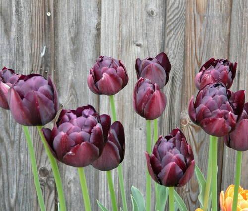 Produktbild Tulipa 'Black Hero'