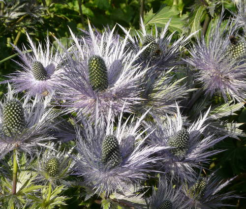 Produktbild Eryngium alpinum 'Blue Star'