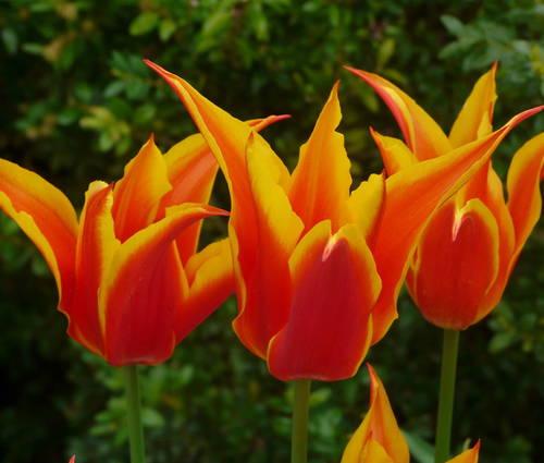 Produktbild Tulipa 'Fly Away' ®