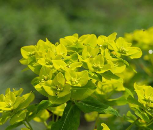 Produktbild Euphorbia cornigera 'Goldener Turm'