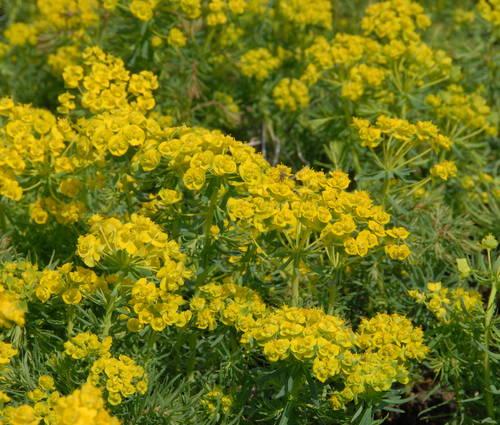 Produktbild Euphorbia cyparissias