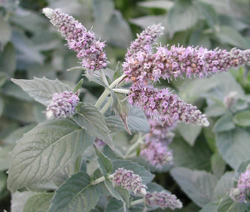 Produktbild Mentha longifolia 'Buddleia'