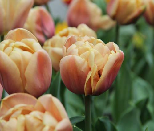 Produktbild Tulipa 'La Belle Epoque'