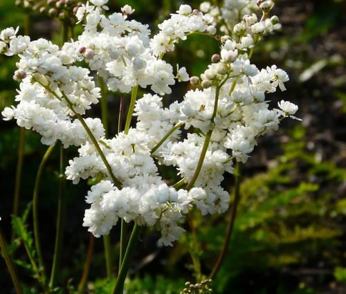 Produktbild Filipendula vulgaris 'Plena'