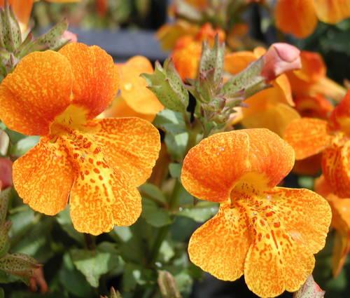 Produktbild Mimulus cupreus 'Orange Glow'