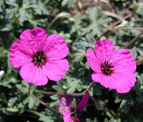 Produktbild Geranium cinereum 'Giuseppii'
