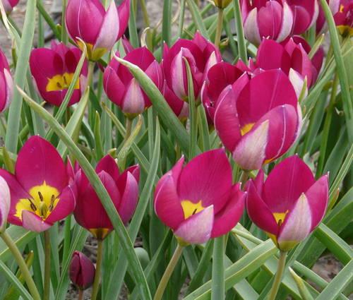 Produktbild Tulipa humilis 'Persian Pearl'