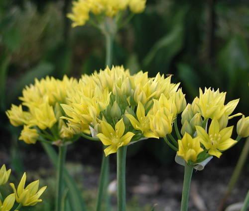 Produktbild Allium moly 'Jeannine'