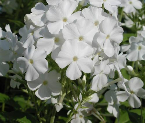 Produktbild Phlox amplifolia 'Weiße Wolke'