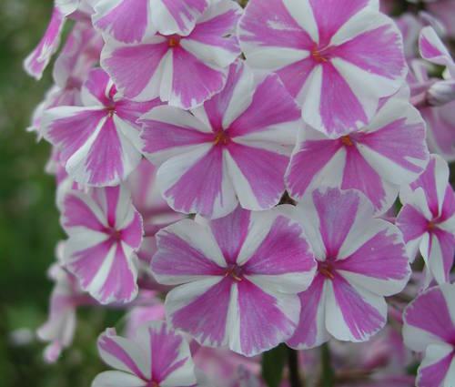 Produktbild Phlox maculata 'Natascha'