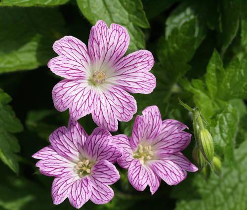 Produktbild Geranium versicolor