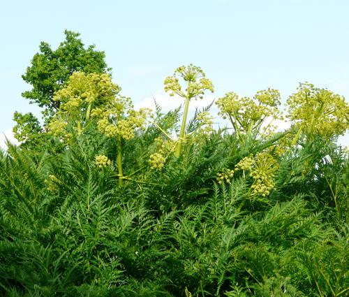 Produktbild Molopospermum peloponnesiacum