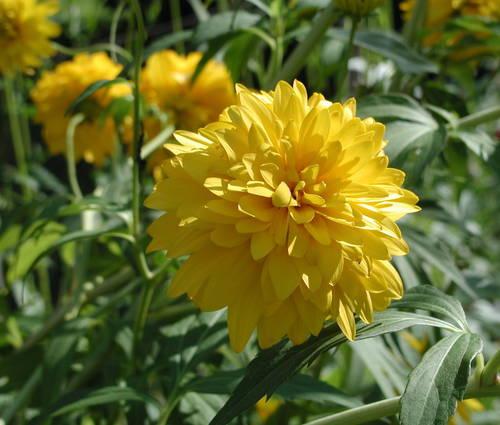 Produktbild Rudbeckia laciniata 'Goldball'