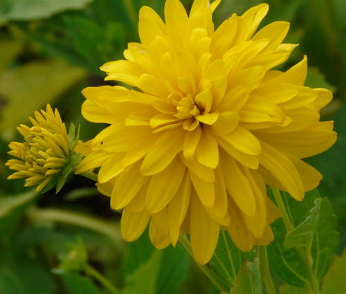 Produktbild Rudbeckia laciniata 'Goldquelle'