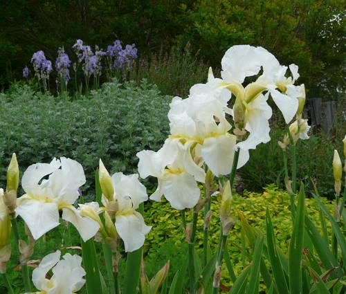 Produktbild Iris barbata-elatior 'Lugano'