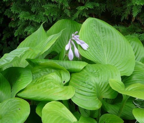 Produktbild Hosta Hybride 'Sum and Substance'
