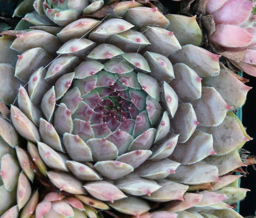 Produktbild Sempervivum Hybride 'Dallas'