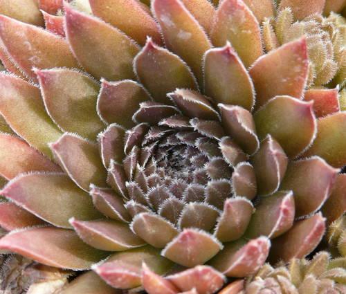 Produktbild Sempervivum Hybride 'Bronze Pastell'