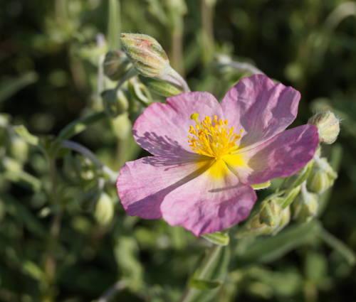 Produktbild Helianthemum Hybride 'Wisley Pink'
