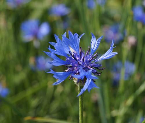 Produktbild Saatgut: Centaurea cyanus 'Blauer Junge'