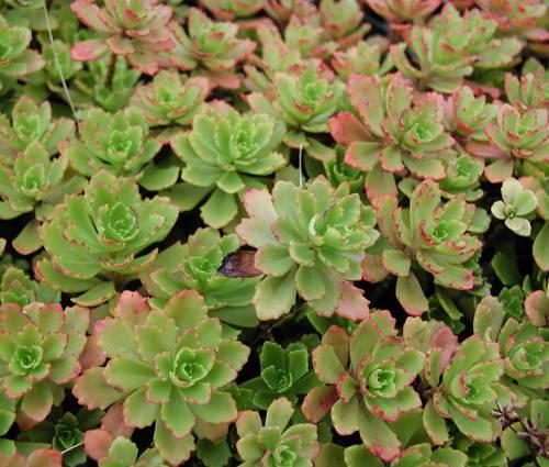 Produktbild Sedum hybridum 'Immergrünchen'
