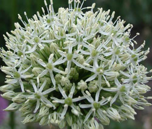 Produktbild Allium Hybride 'Mount Everest'