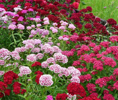 Produktbild Saatgut: Dianthus barbatus