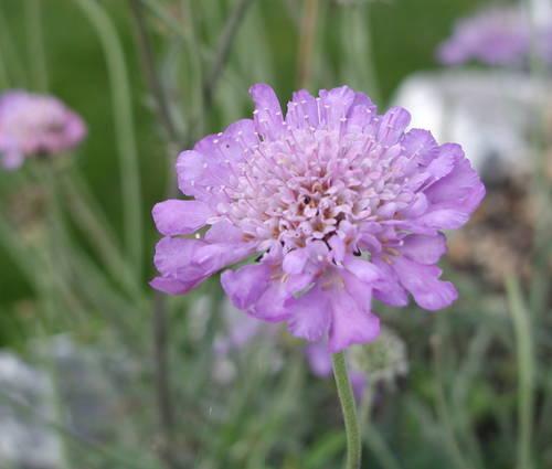 Produktbild Scabiosa japonica var. alpina